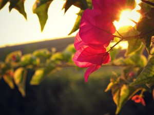 bouganvillea-wall-color-sunlight